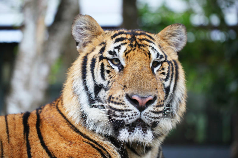 Portrait of Siberian tiger. Outdoors close up royalty free stock image