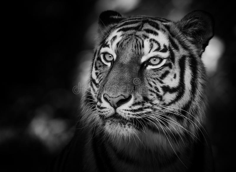 Portrait of a siberian tiger. (Panthera tigris altaica) in black and white royalty free stock photo