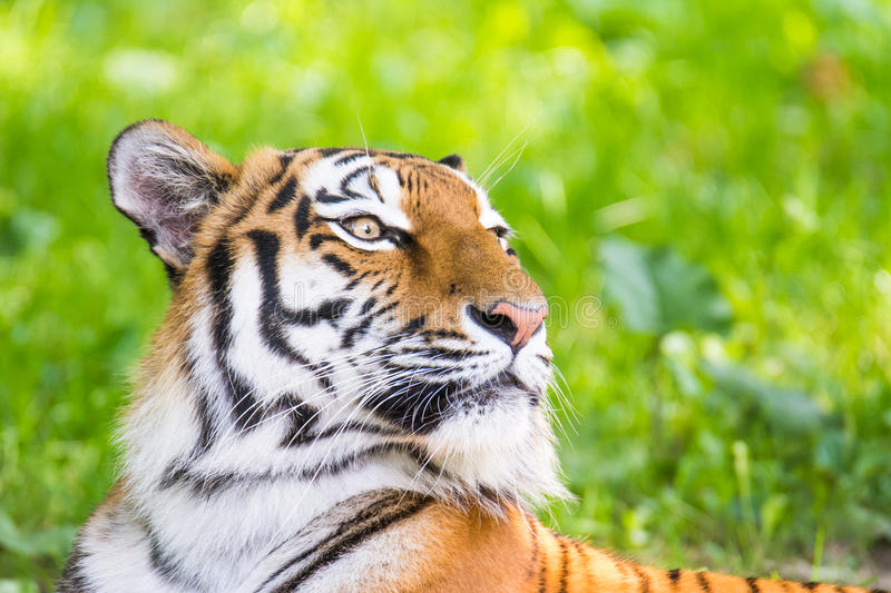 Portrait of a siberian tiger. (Panthera tigris altaica stock photo