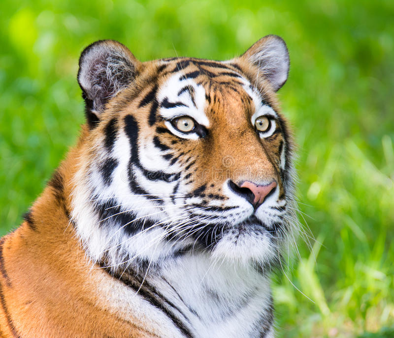 Portrait of a siberian tiger. (Panthera tigris altaica royalty free stock image