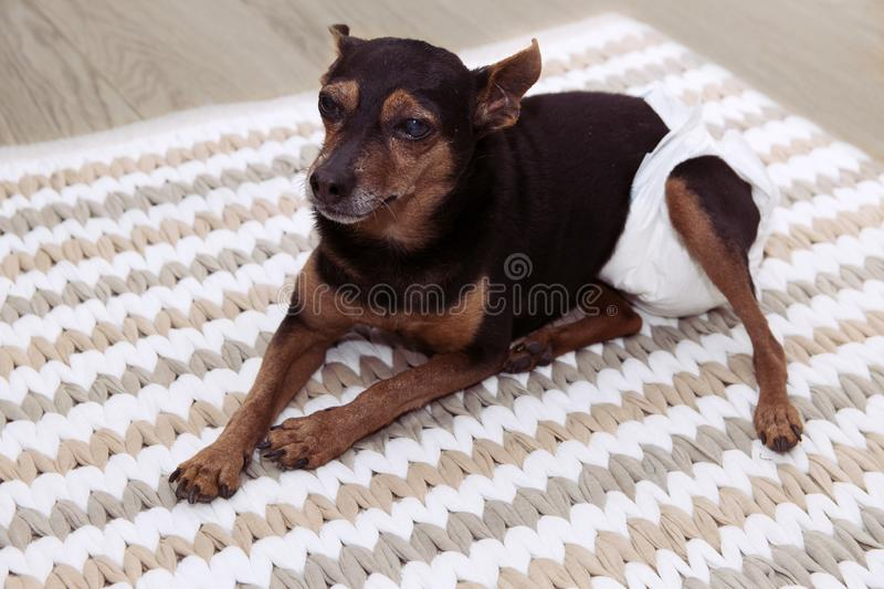 PORTRAIT SICK SENIOR OLD DOG WITH CATARACT, ARTRHRITIS  WEARING DIAPER  FOR PEE LOST RESTING INTERIOR ROOM. PORTRAIT SICK SENIOR OLD DOG WITH CATARACT stock image