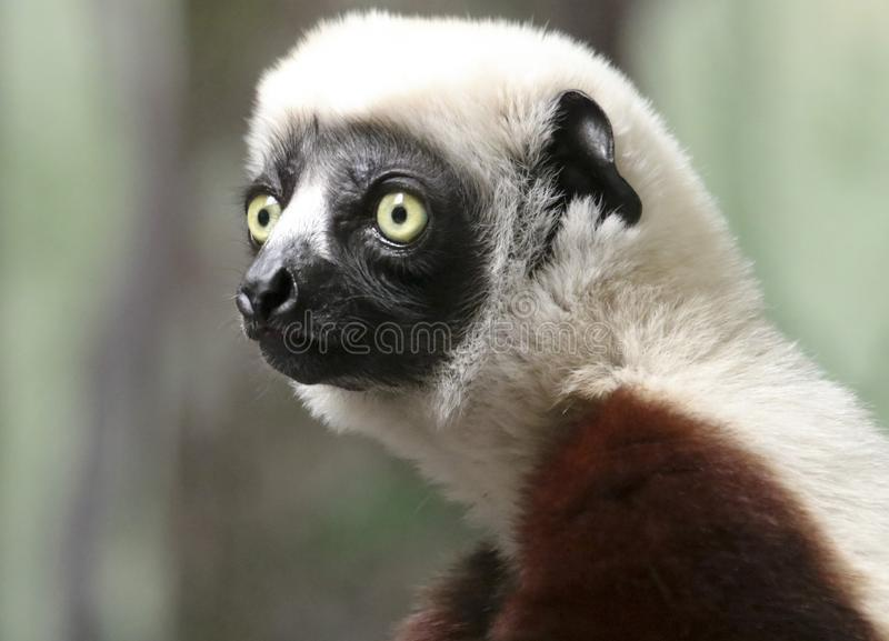 A Portrait of a Sifaka Primate, a Large Lemur royalty free stock images