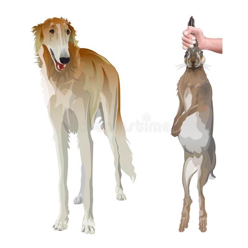 Portrait of sighthound dog. In full growth with hunting hare. Borzoi or russian wolfhound. Vector illustration isolated on white background vector illustration