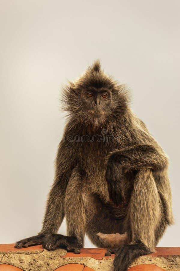 Portrait Silvered leaf monkey Trachypithecus cristatus or Silvery lutung silver leaf monkey. stock photos