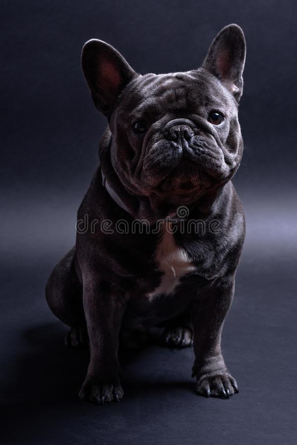Portrait of a sitting blue french bulldog looking to the left side. Studio shot against dark background stock photography