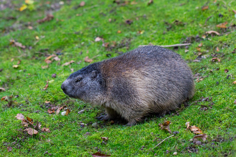 Portrait of sitting groundhog Marmota monax royalty free stock photography