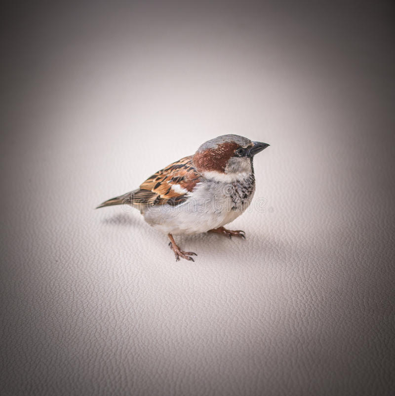 Portrait of a sitting sparrow, vignette, close-up, skin surface royalty free stock photos