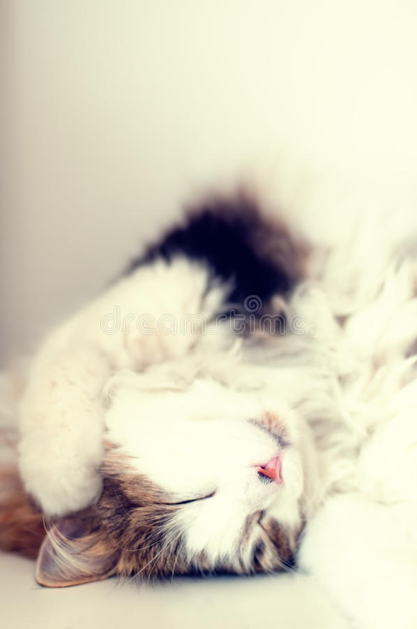 Portrait of sleeping cat royalty free stock photography