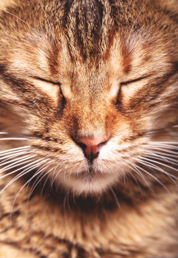 Portrait of sleeping cat. Close up the face of sleeping cat stock photos