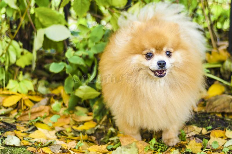 Portrait of small adult ginger fluffy Pomeranian spitz dog barking, howling, looking, calling for the owner. thoroughbred purebred stock photo