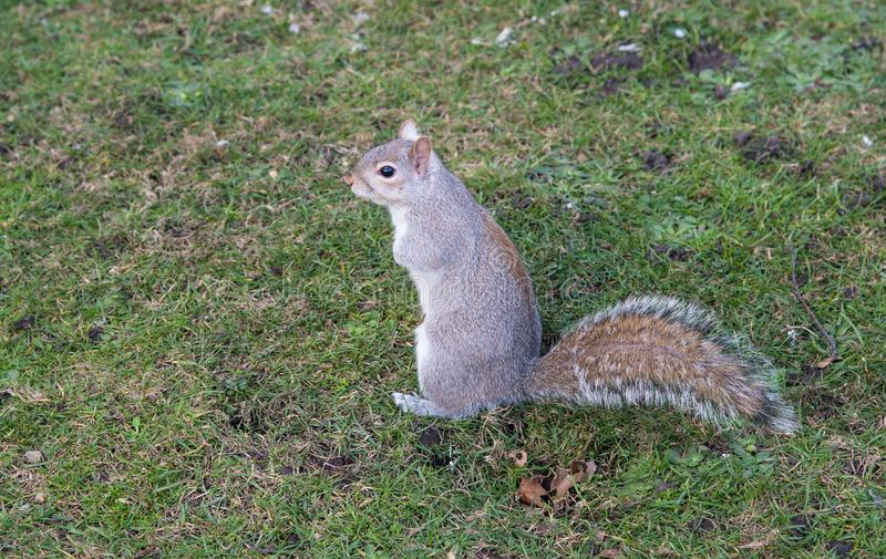 Portrait of a small beautiful cute squirrel standing on the grass royalty free stock photos