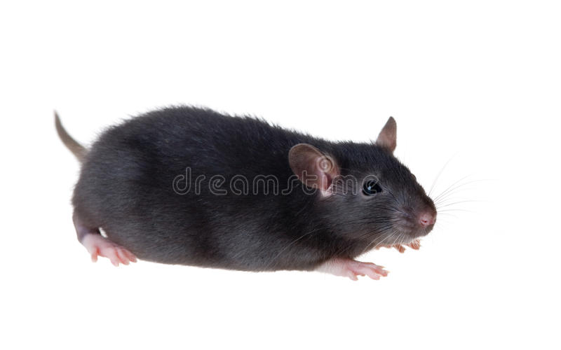 Portrait of a small black rat royalty free stock photography