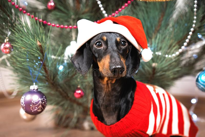 Portrait small cute funny dog dachshund, black and tan, in a red sweater and santa claus hat on background Christmas tree royalty free stock photography