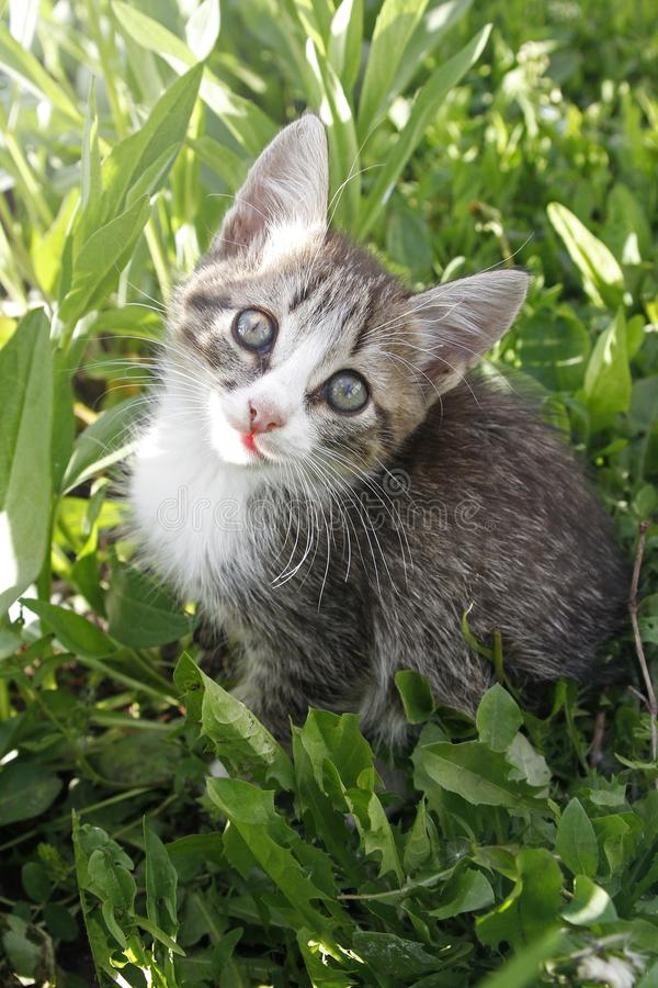 Portrait of small cute kitten. Pet looks at camera among the green grasses. Top view. Copy space.  royalty free stock image