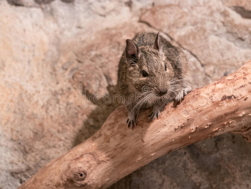 Portrait of a small degu in the woods royalty free stock photos