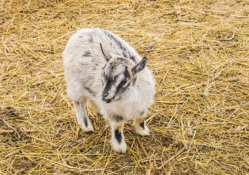 Portrait of a small goat. royalty free stock photos