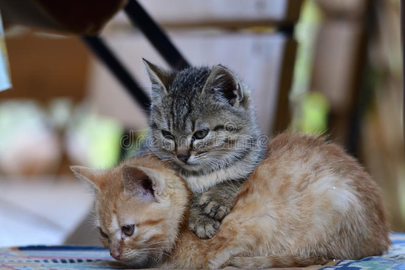Portrait of small kitten snuggling together. And watching the mouse royalty free stock images
