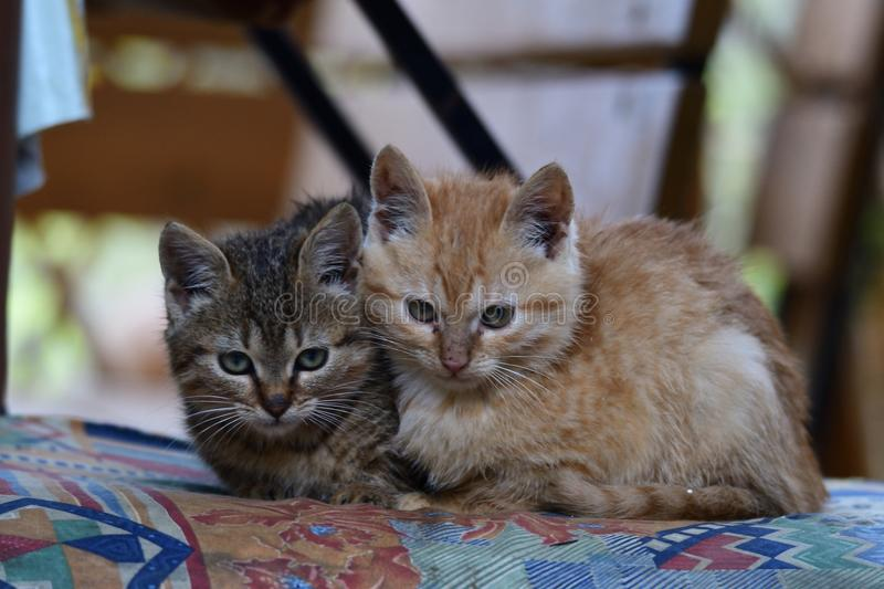 Portrait of small kitten snuggling together. And watching the mouse royalty free stock photography