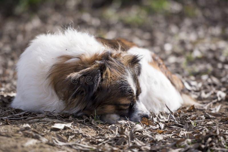 Little cute dog sleeping lying down on the floor stock photography