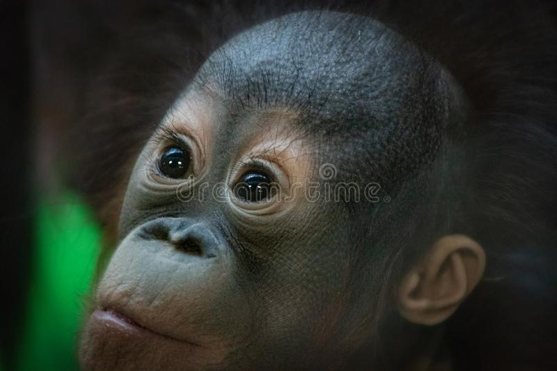 Portrait of a small orangutan cub looking with a surprised expression stock photo