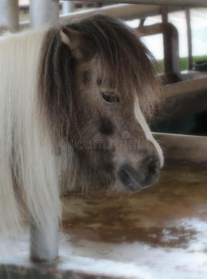 Portrait of a small pony on a farm royalty free stock images