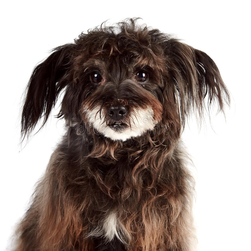 Portrait of a small shaggy mongrel. On a white background royalty free stock photography