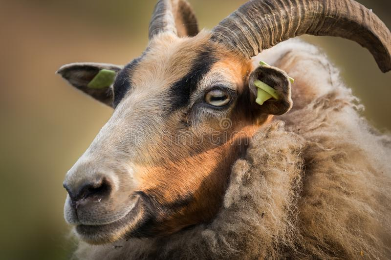 Portrait of smiling Drents moor sheep with ear tags and horns. Wool brown stock photo