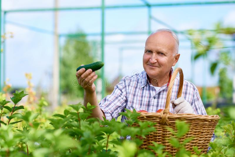 Proud Farmer Presenting Ripe Cucumbers stock images