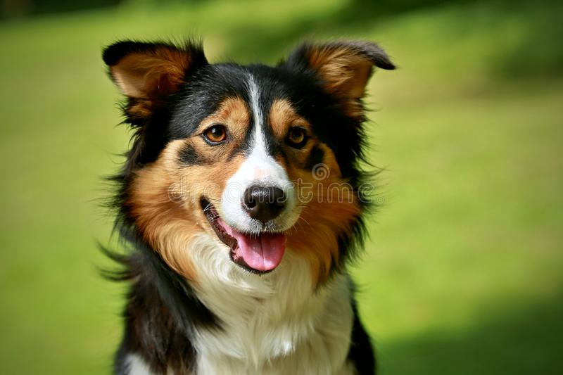 Portrait of smiling tricolor border colliie looking happy, green background royalty free stock photography