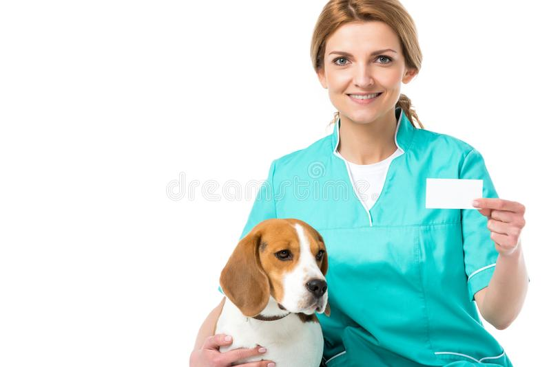 Portrait of smiling veterinarian with beagle dog near by showing blank card in hand. On white stock image