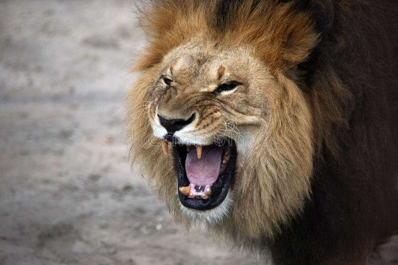 Portrait of a snarling african lion stock image