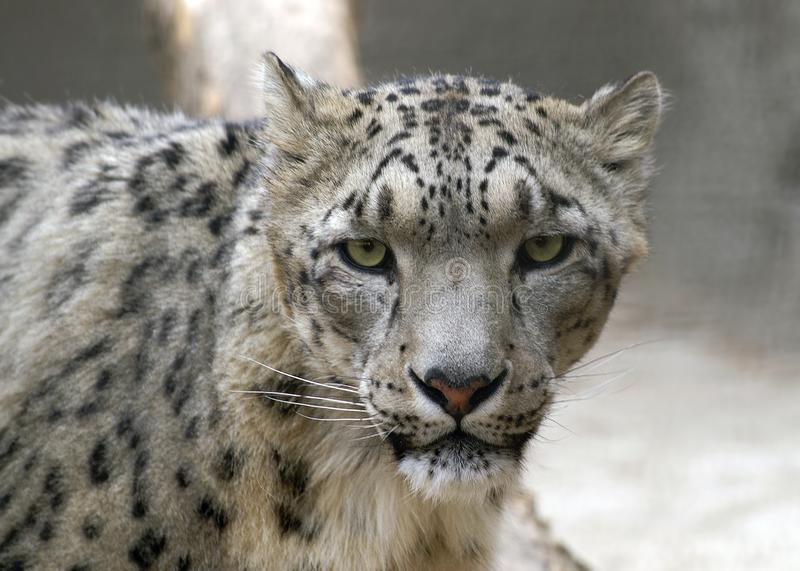 Portrait of snow leopard stock image