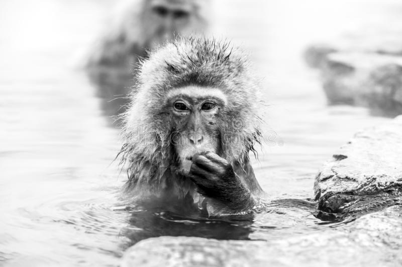 Portrait of Snow monkey Macaca fuscata from Jigokudani Monkey Park in Japan, Nagano Prefecture. Cute Japanese macaque. stock photography