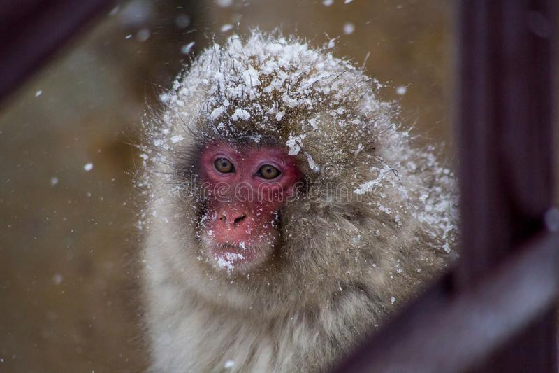 Portrait of a snow monkey in a snow storm. A portrait of an adult Japanese Macaque, or snow monkey. These monkeys are the northern most non-human primates in the royalty free stock photo