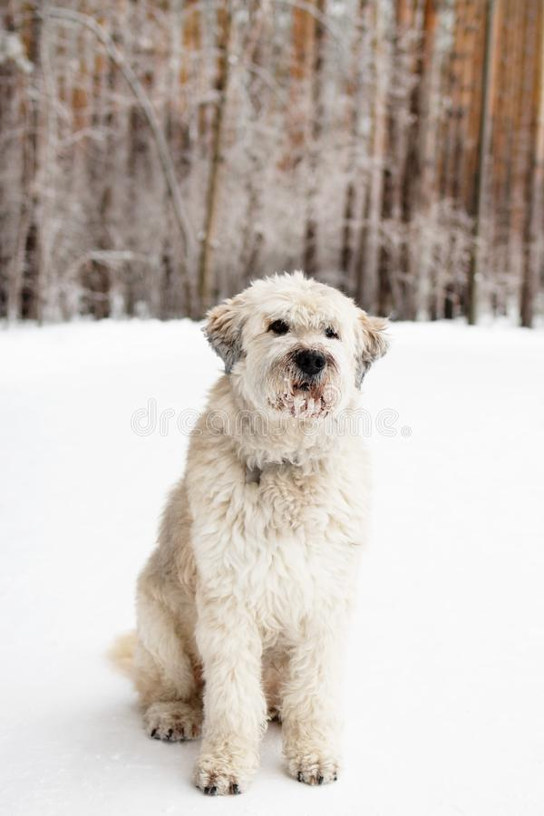 Portrait of South Russian Shepherd Dog for a walk in a forest. Portrait of South Russian Shepherd Dog for a walk in a winter forest stock images
