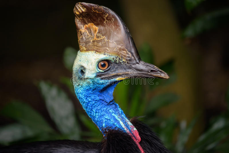 Portrait of Southern cassowary stock photo