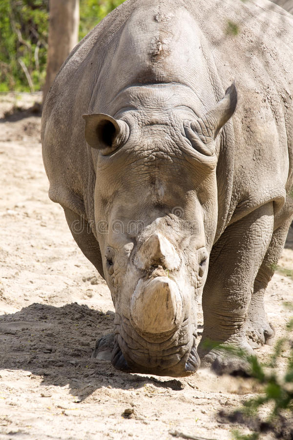 Portrait of a Southern White Rhinoceros, Ceratotherium s. simum royalty free stock photo