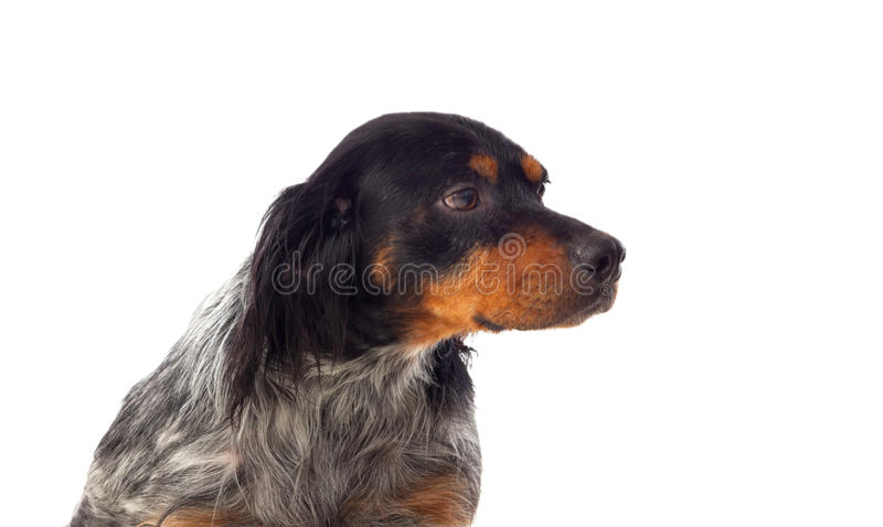 Portrait of a spaniel breton royalty free stock images