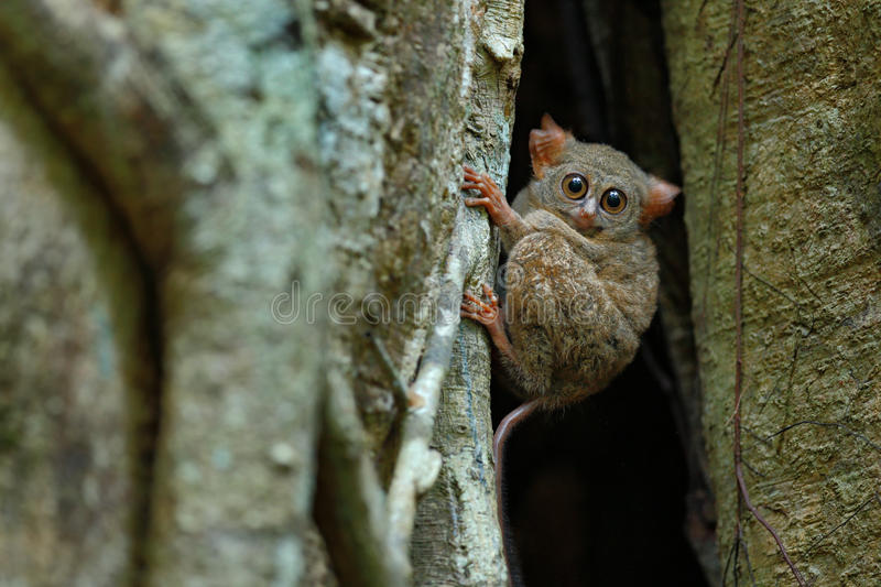Portrait of Spectral Tarsier, Tarsius spectrum, from Tangkoko National Park, Sulawesi, Indonesia, in the large ficus tree. Portrait of Spectral Tarsier, Tarsius stock photography