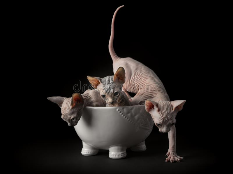 Download Sphynx Kittens Posing Front Of Camera. Stock Photo - Image of mammal, cats: 108880344