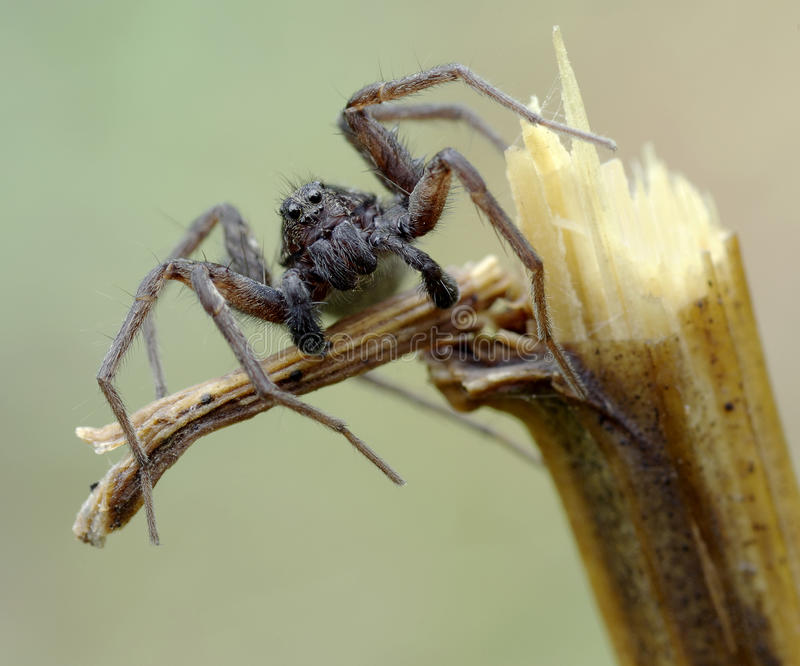 Portrait of spider royalty free stock photo