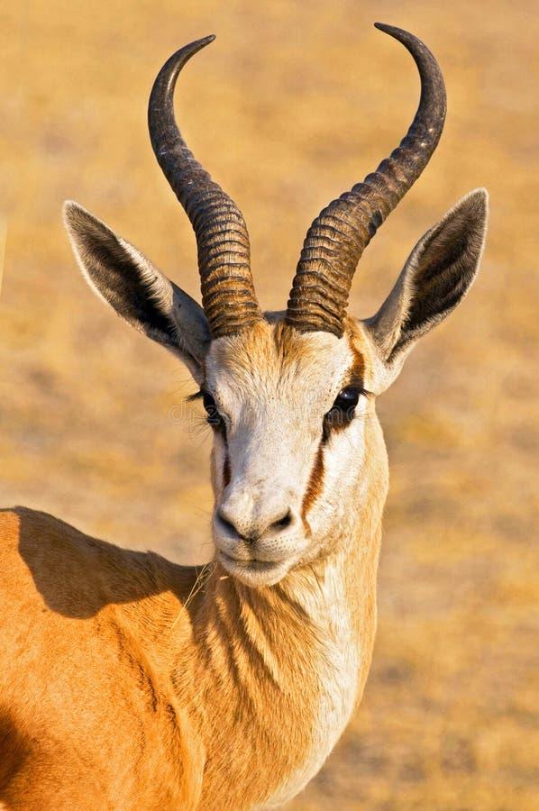 Portrait of a Spingbok in Etosha Namibia, Africa. Portrait of a Spingbok in Etosha National Park Namibia, Africa royalty free stock photos