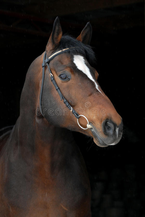 Free Portrait Sport Hannoverian Horse On Black Royalty Free Stock Photography - 12926527