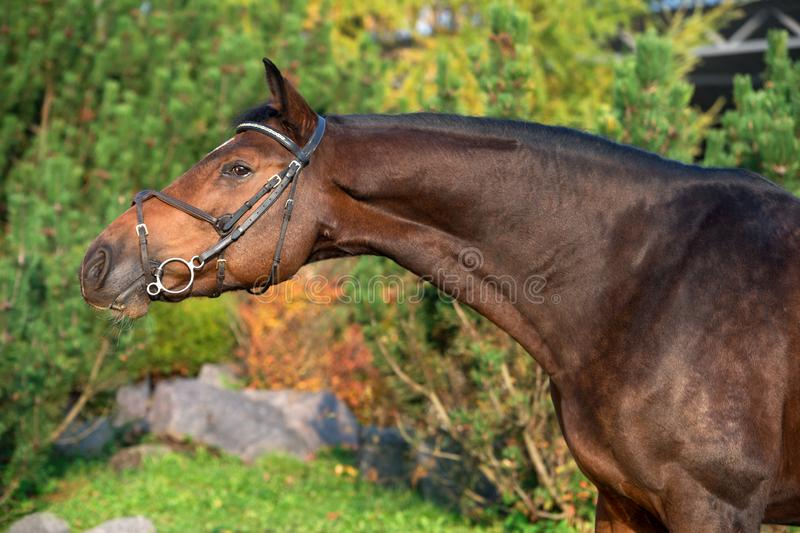 Portrait of sportive warmblood horse at pine trees background stock photos