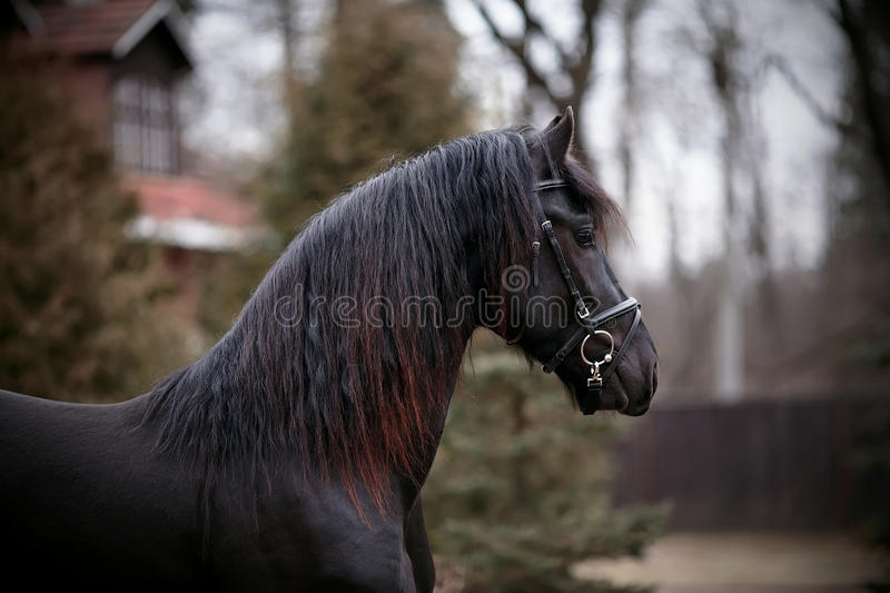 Portrait of a sports black horse. royalty free stock photography