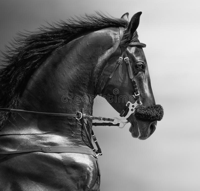 Portrait of a sports stallion in a hackamore. stock photography
