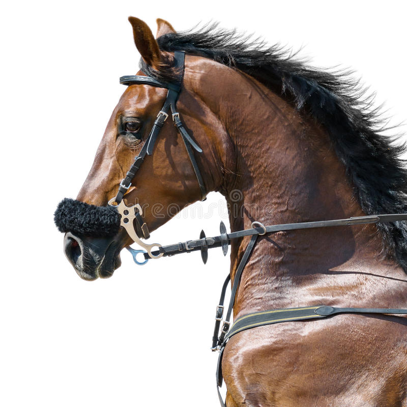 Portrait of a sports stallion in a hackamore. Isolated on white. royalty free stock images