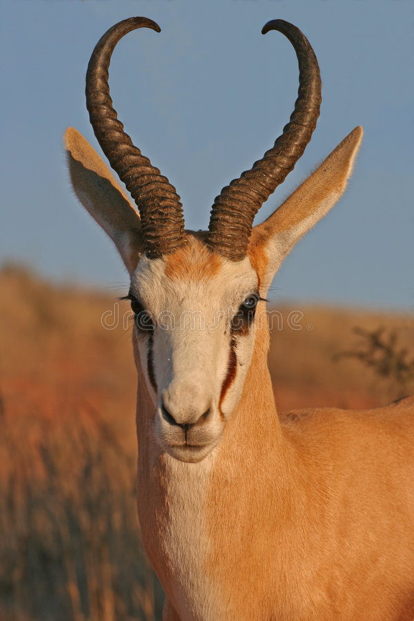 Portrait of springbok royalty free stock photos
