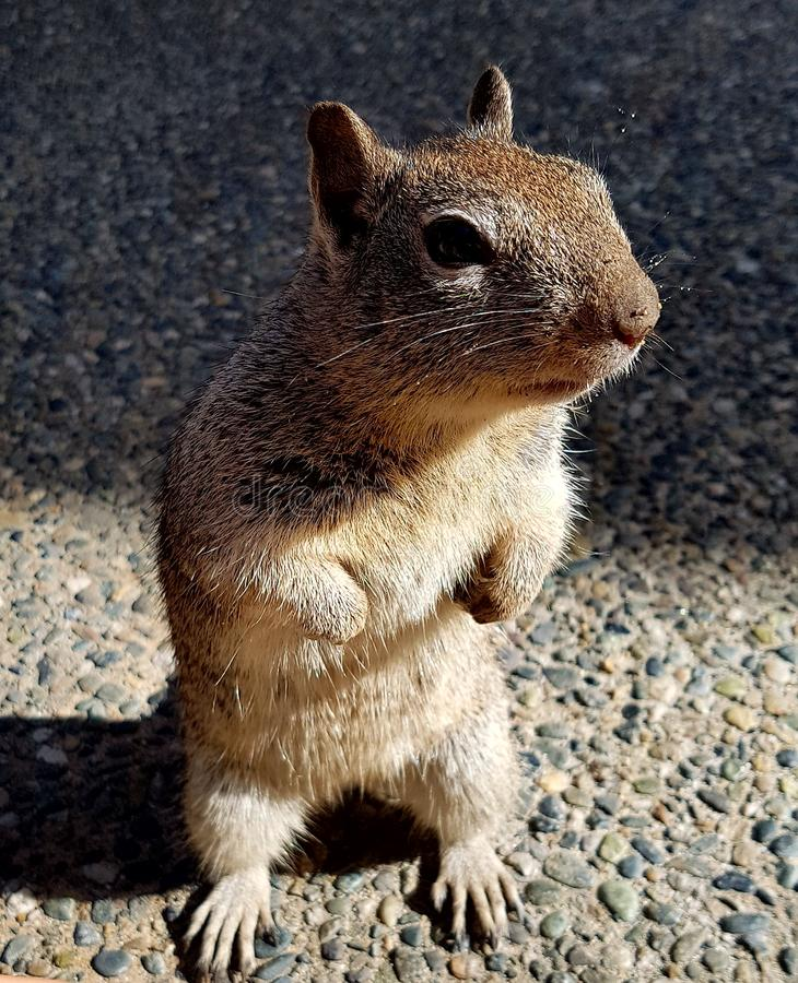 Portrait of squirrel stock photography