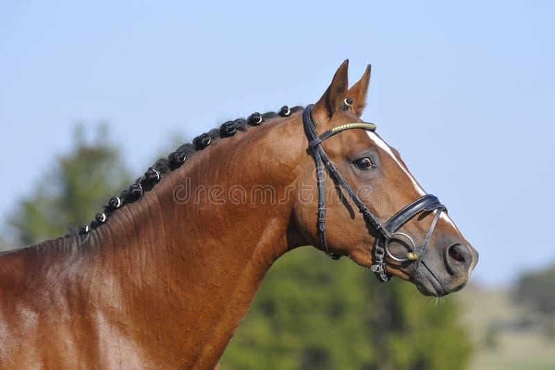 Portrait of a stallion stock image